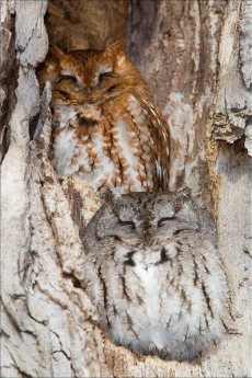 Love Owls In A Tree