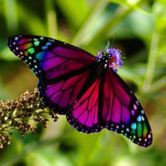 Magenta Butterfly