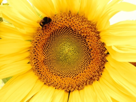 Sunflower with Friend