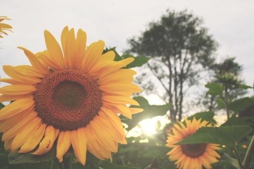 WiseOwlChristine - Sunflower